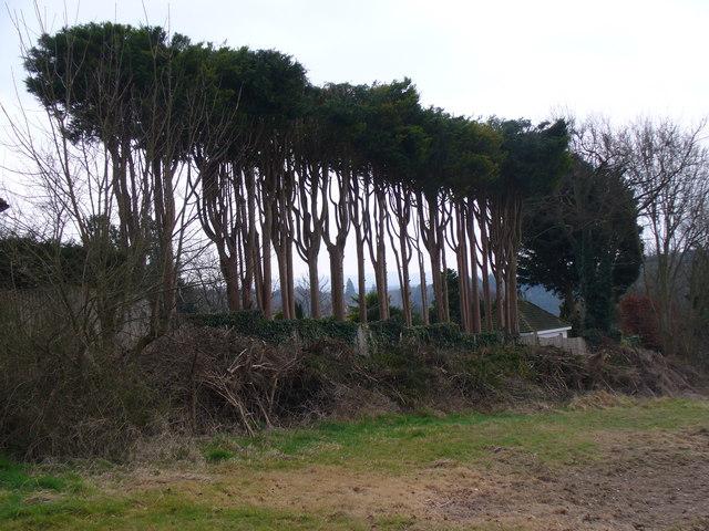 Tree Line on Longdown