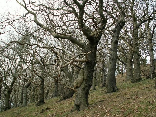 Beacon Hill woodland