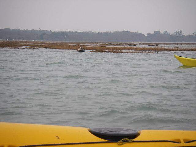 Seal on the saltmarsh