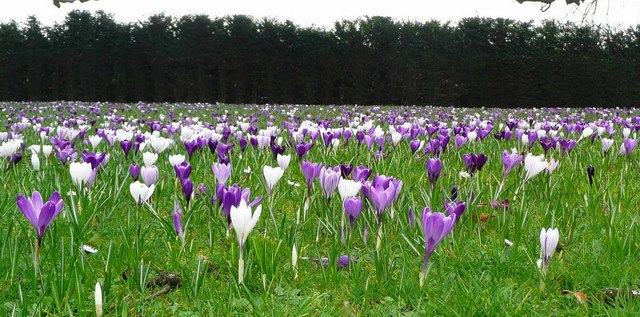 Crocus at Dartington