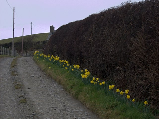 Daffodil-lined farm track at Penlan farm