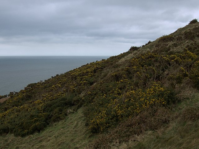 Gorse-covered headland