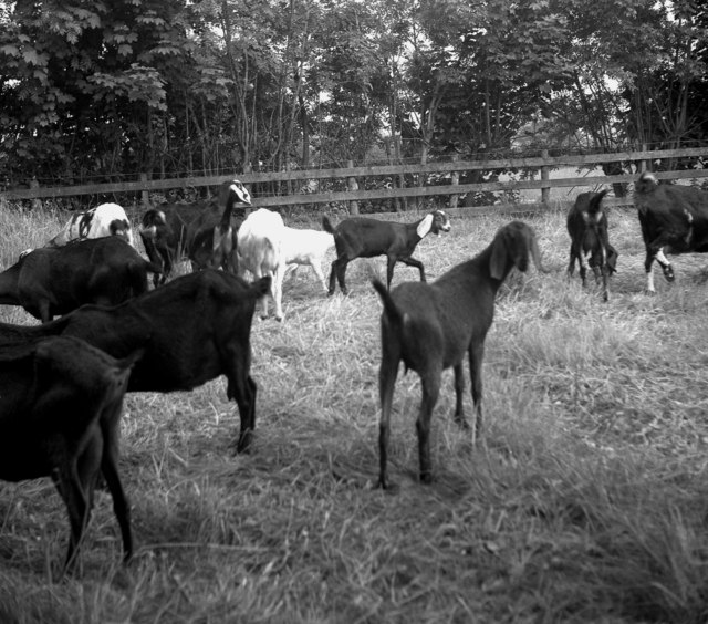 Abyssinian goats, Salterforth