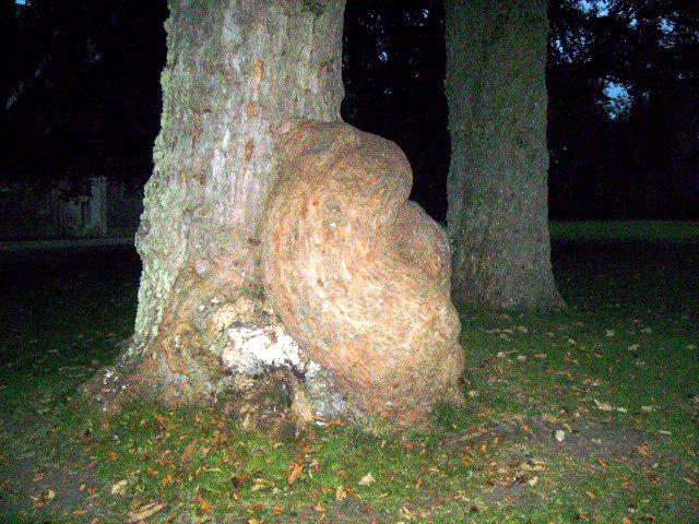 Unusual Tree Trunk at Brodie Castle
