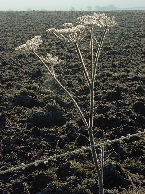 Frosty hogweed near Lockinge