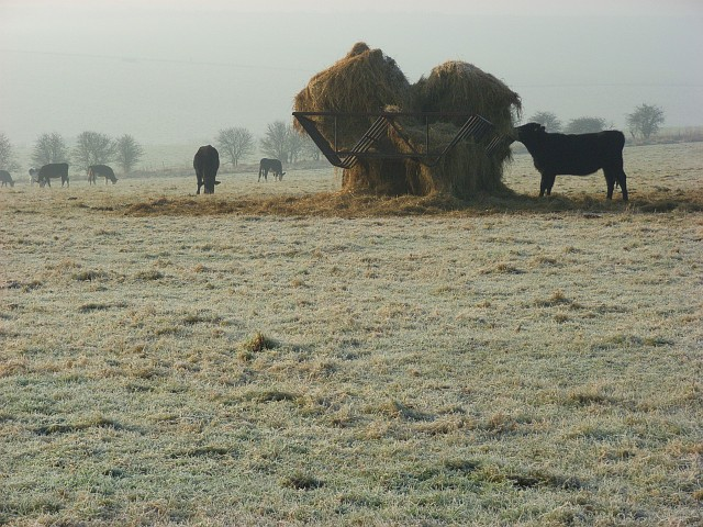 Cattle, Shrewton