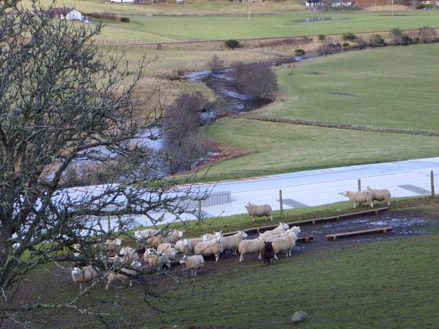 Sheep at Eiden