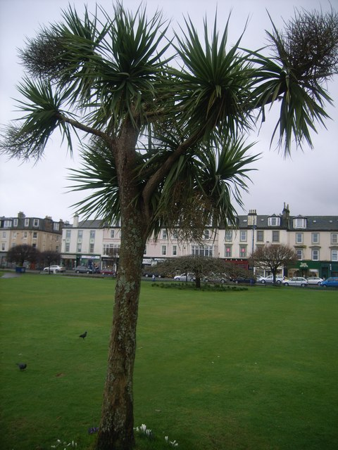 Palm Tree on Green at Rothesay