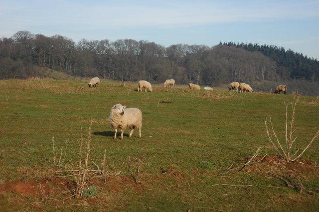 Sheep at Bringsty