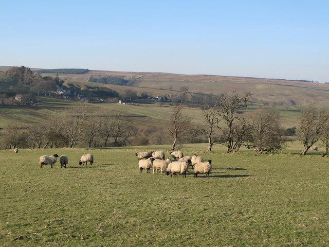 Sheep grazing pastures north of Hesleywell