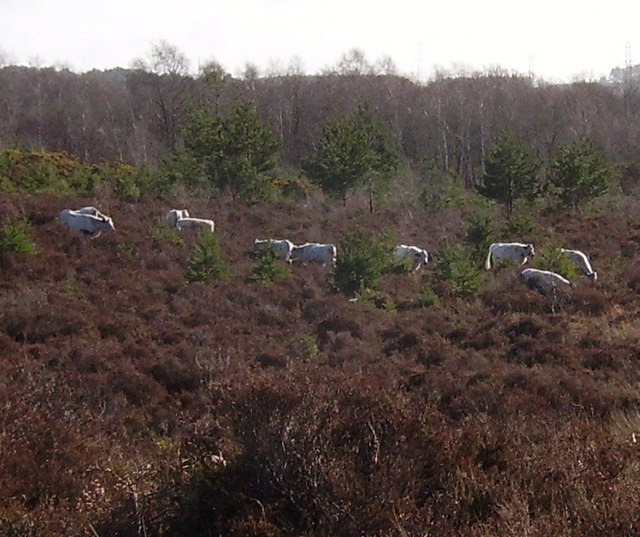 Cattle grazing on Wildmoor Heath