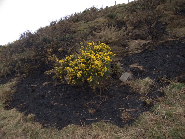 Gorse amidst burnt patch