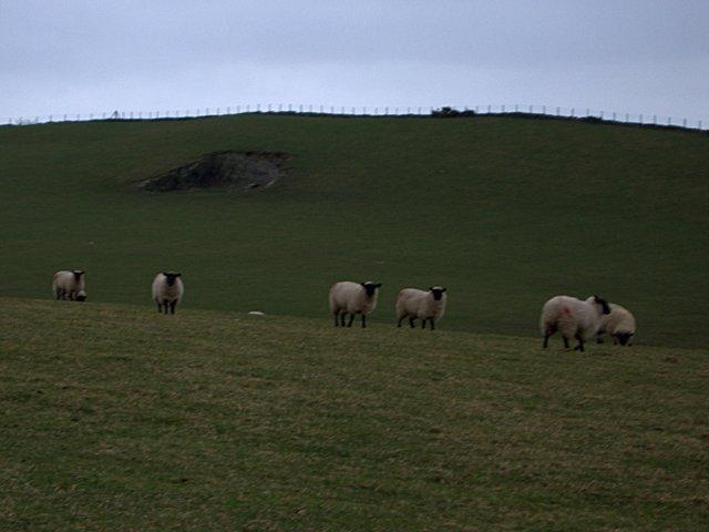 Sheep, quarry