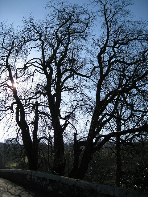 Mature trees growing adjacent to Isel Bridge