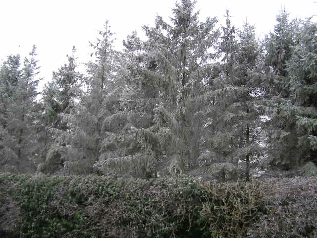 Rime-encrusted fir trees Burghley Golf Course