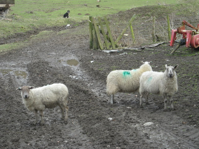 Ewe're at Cwm Collo