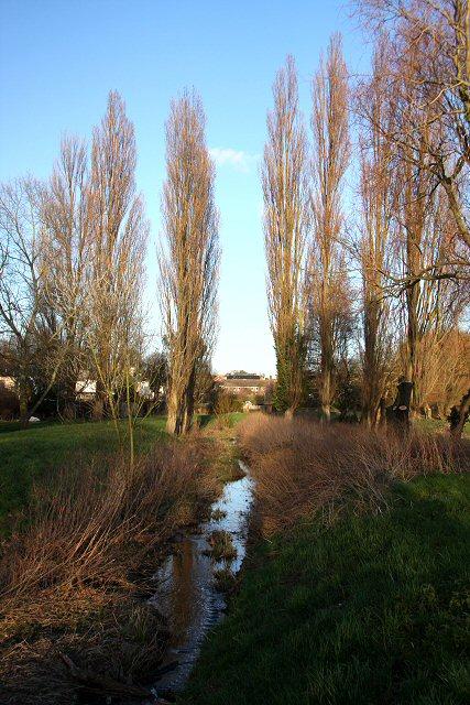Poplars by the Linnet