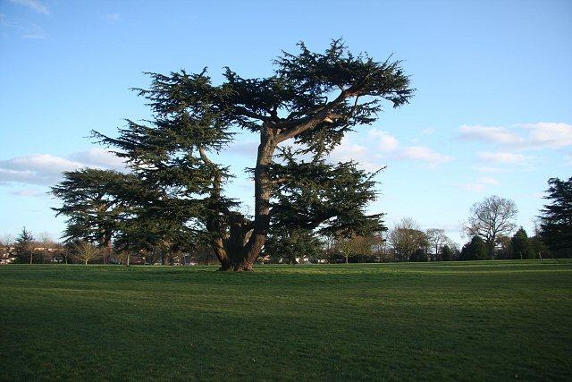 Cedar on Hardwick Heath