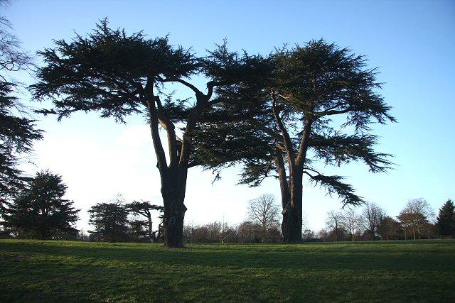 Two cedars on Hardwick Heath