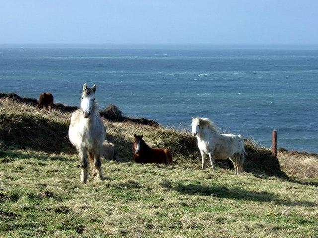 Windswept ponies on Ciliau moor