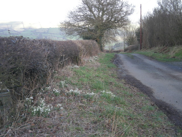 Snowdrops on the roadside