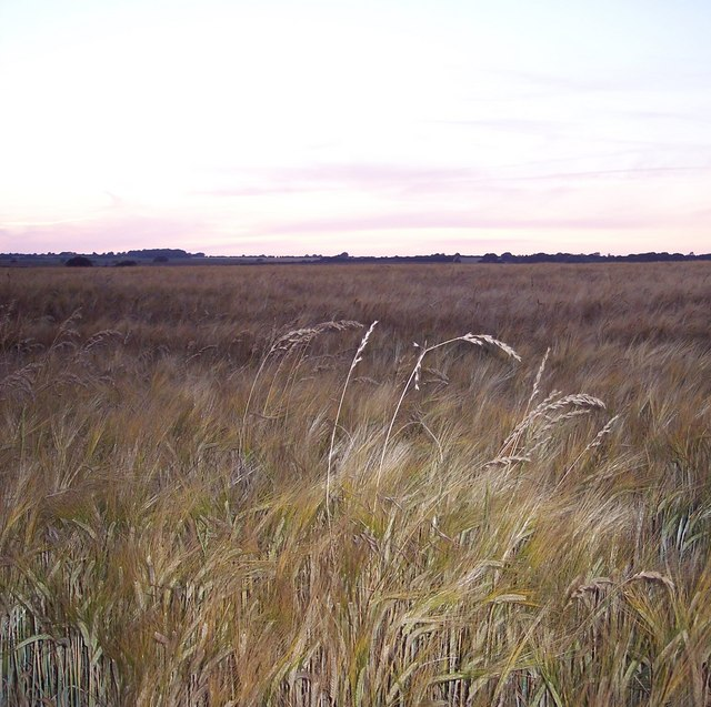 Ripening barley and rogue grasses, Netton Farm