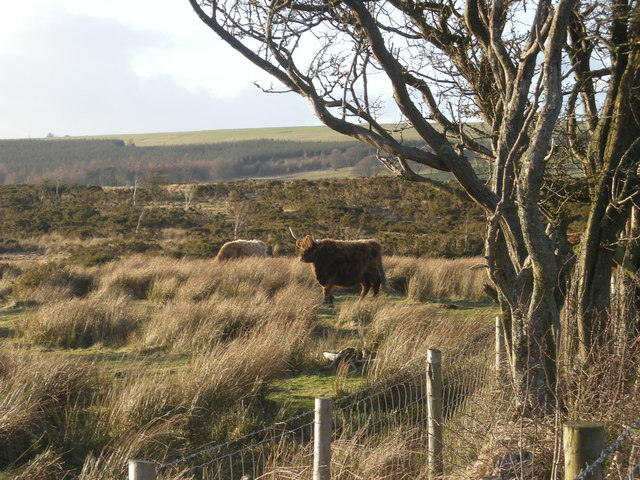 Highland cattle on Rhos Fiddle