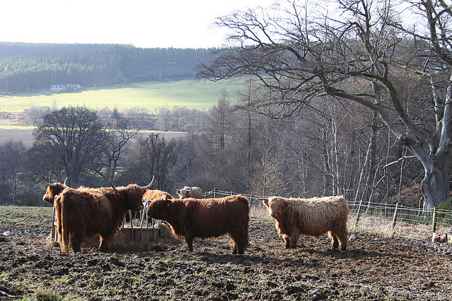 Highland cattle near Arndilly house