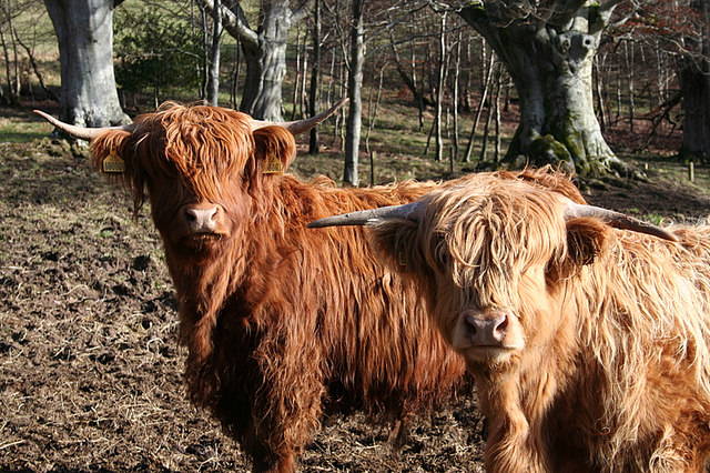 Highland cattle, as curious as ever