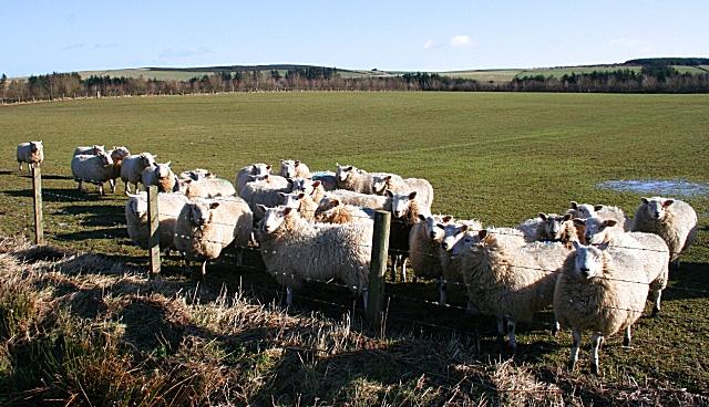 Inquisitive Sheep at Backieley
