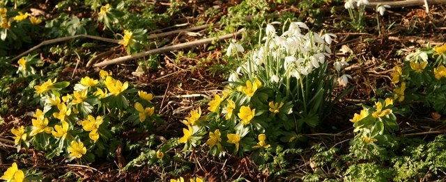 Celandines and Snowdrops