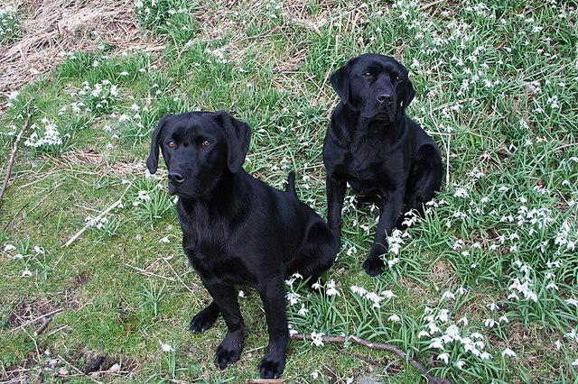 Black Labradors among the Snowdrops