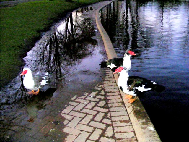 Muscovy ducks at Cooper Park