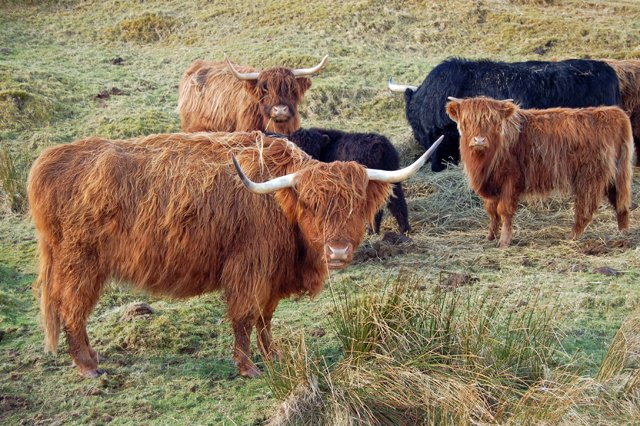 Cattle at Peiness