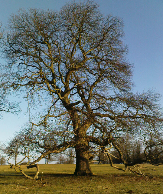 Oak at Studley Royal