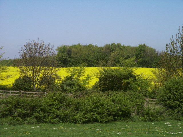 Across Thurmans lane to field of Rapeseed