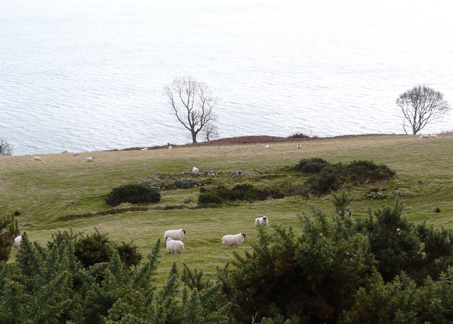 Gorse, sheep and sea