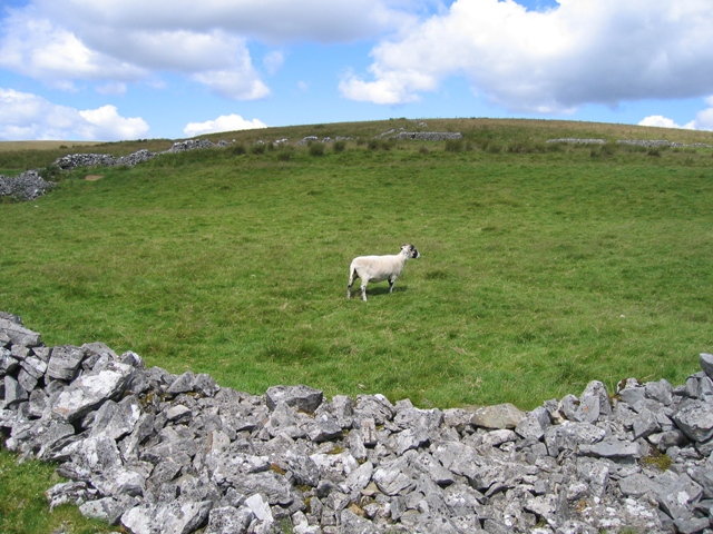 Dales sheep and field