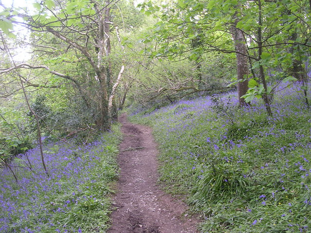 Bluebells in woods behind Maenporth