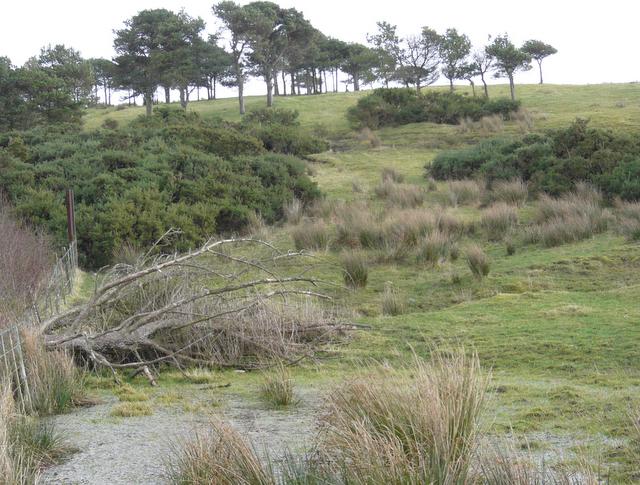 Windblown trees on Nigg Hill