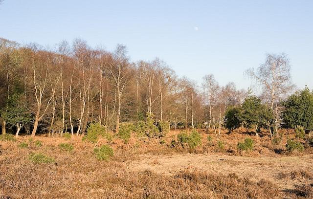 Silver Birches on edge of Winding Stonard