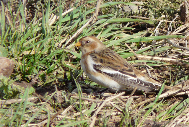 Snow Bunting near Caboll Mount