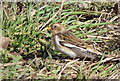 NH8878 : Snow Bunting near Caboll Mount by sylvia duckworth