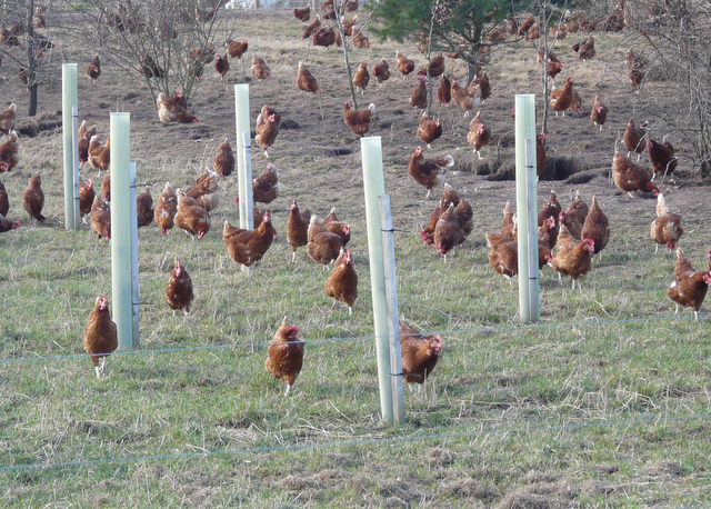 Free-range chickens at Balmuchy Farm