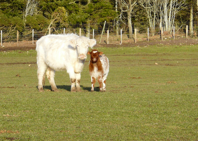 Cow and calf near Shandwick House