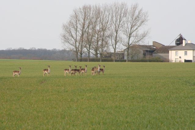 Deer near Langley Lawn