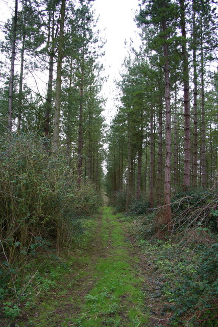 Coniferous wood at the top of Up End track