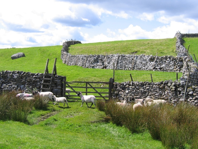 The Ribble Way and some sheep
