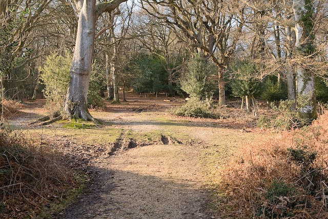 Beeches on path through Ocknell Inclosure