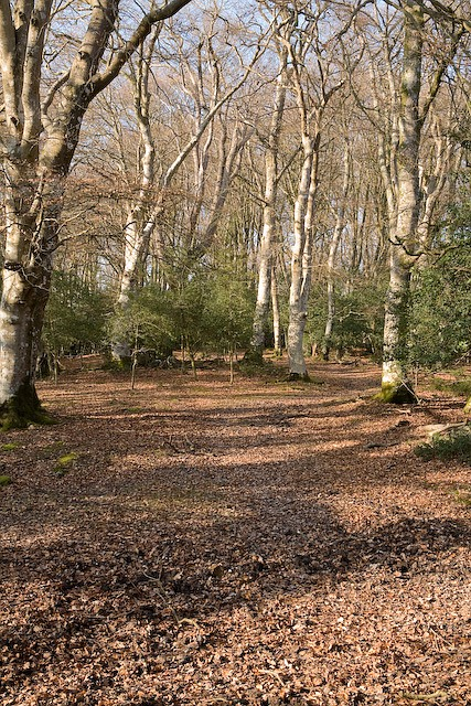 Path through beeches in Ocknell Inclosure